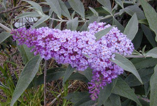 сиреневый садовой цветок