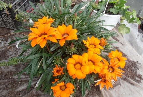 Цветы Газании многолетние