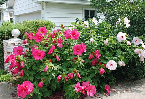 Гибискус садовый уход и размножение