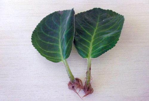Пророщенные листья глоксинии