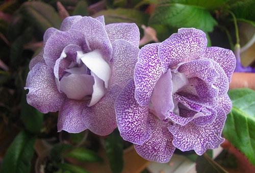Сиреневые цветки глоксинии