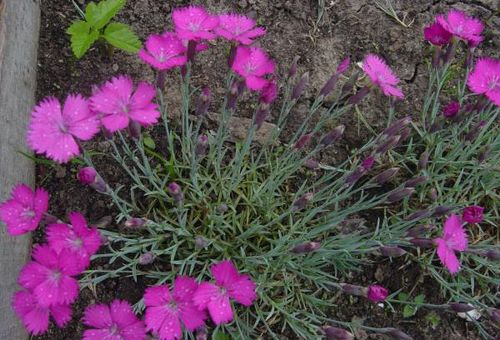 размножение цветка в открытом грунте