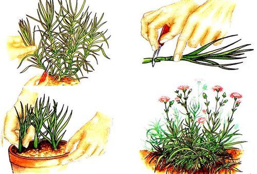 Выращивание гвоздики черенкованием