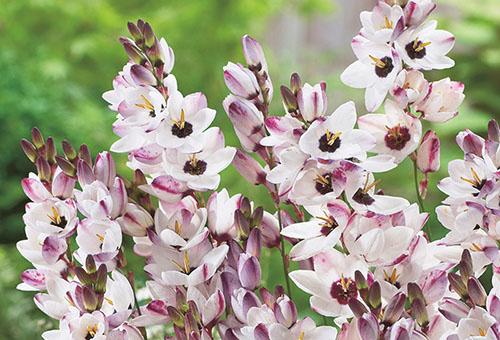 Цветущая иксия бело-розовая
