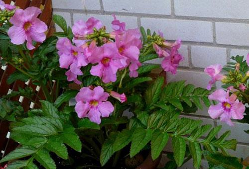 Инкарвиллея: выращивание и уход, основные правила