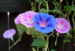 Разноцветные цветки ипомеи
