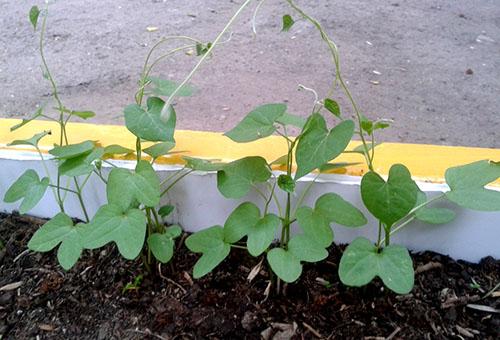 Ипомея однолетняя: посадка и уход за растением, правила выращивания