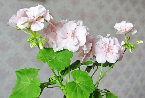 Светлые цветки герани