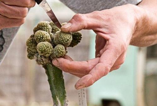 Размножение кактуса отростками