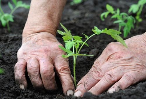 Высадка ростков в открытый грунт