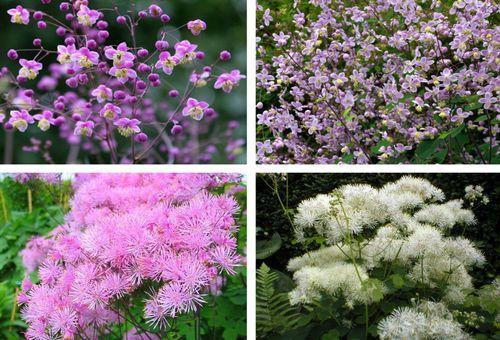 Садовый цветок василистник