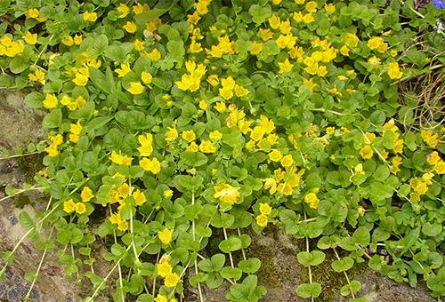 Вербейник точечный – посадка и уход за растением