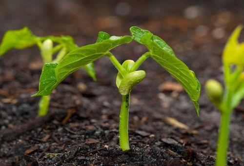Вигна овощная графиня: выращивание на дачном участке
