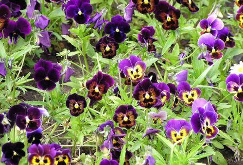 Виола цветок