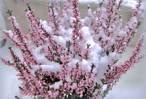 Вереск розовый в снегу