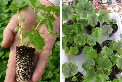 Размножение и посадка садовой пеларгонии