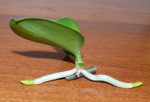 росток цветка