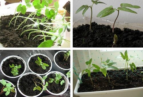 Вьюнок трехцветный: выращивание из семян, посадка и уход за растением