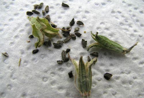 семена алоэ