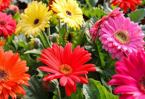 Цветущие герберы