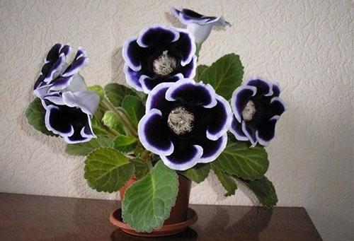 Темно-синяя глоксиния с белой каймой