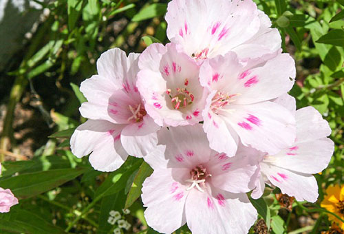 Белые цветки годеции