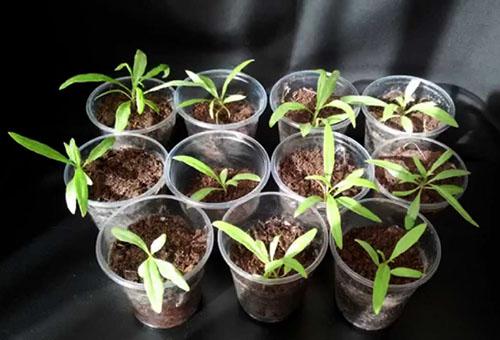Годжи ягода: посадка и уход, особенности растения