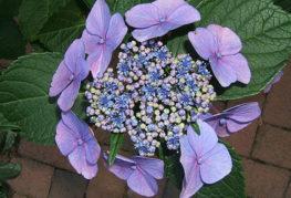 Соцветие пильчатой гортензии Блюберд