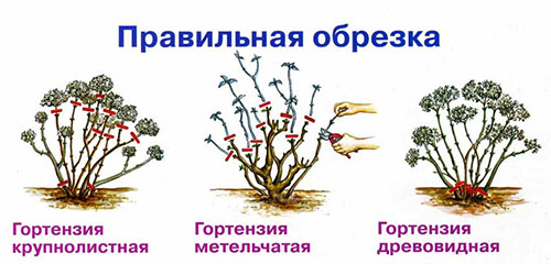 Гортензия: посадка и уход, полив, подкормка, размножение