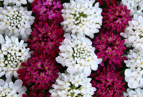 Иберис разных цветов