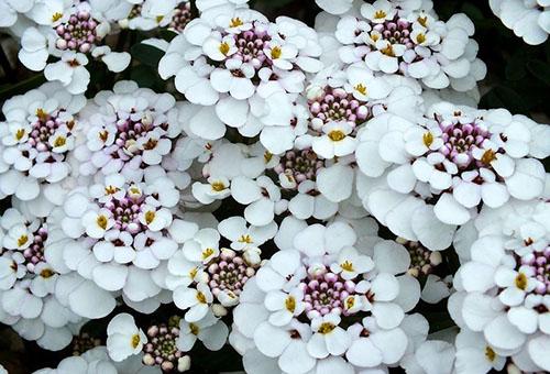 Цветущий иберис