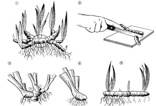 Выращивание ирисов в открытом грунте