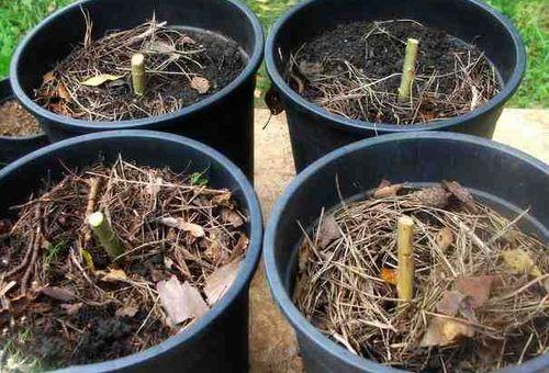 ростки ивы в горшках