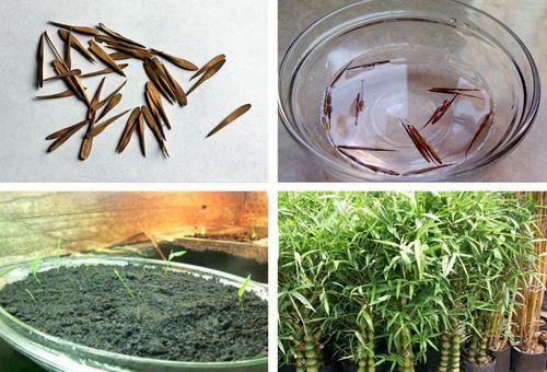 размножение бамбука семенами
