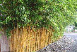 Бамбук, посаженный стеной