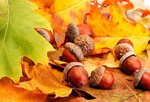 Как посадить дуб – советы и рекомендации