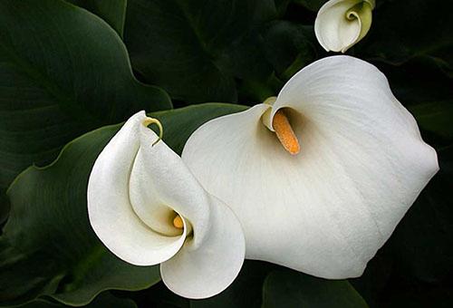 Белые каллы
