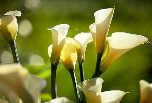 Цветущие каллы