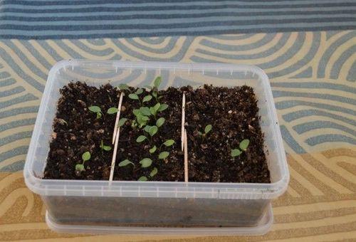 проросшие семена клематиса