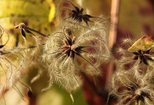 клематисы с семенами