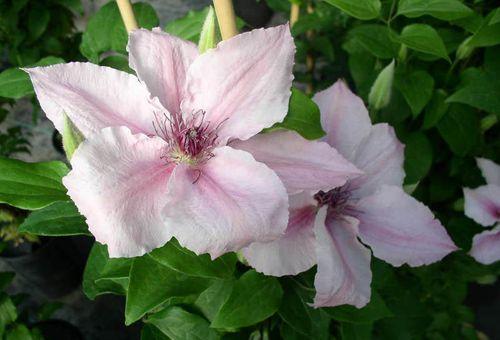Клематисы вьющиеся крупноцветковые