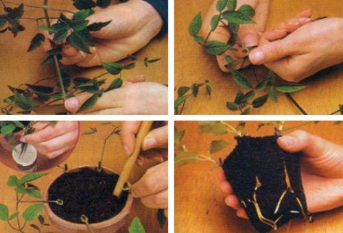 размножение цветка черенками