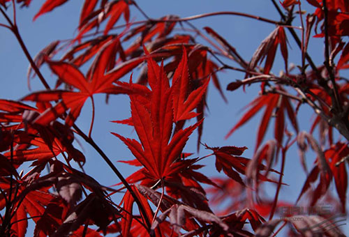Листья красного веерного клена