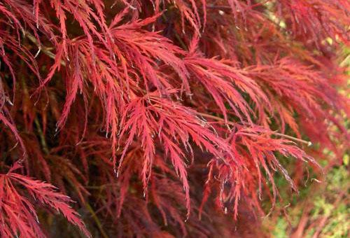 Ветви клена Атропурпуреум