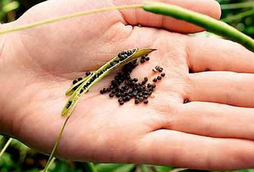 Семена клеомы
