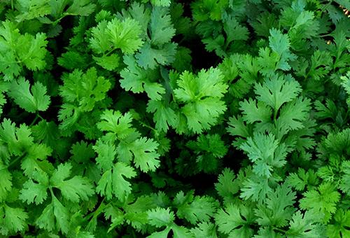 Зелень кинзы