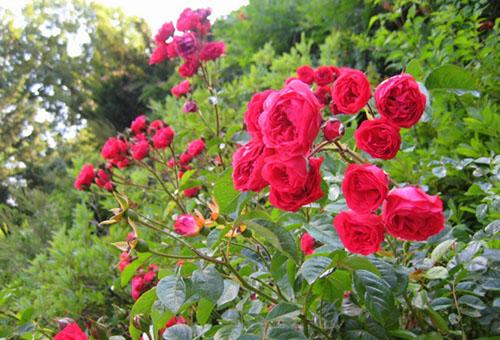 Роза кустовая посадка и уход