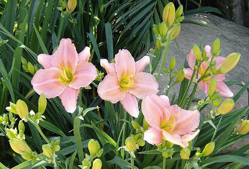 Розовые лилейники