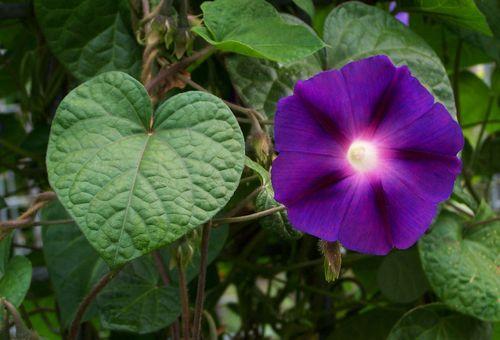 Ipomoea пурпурная