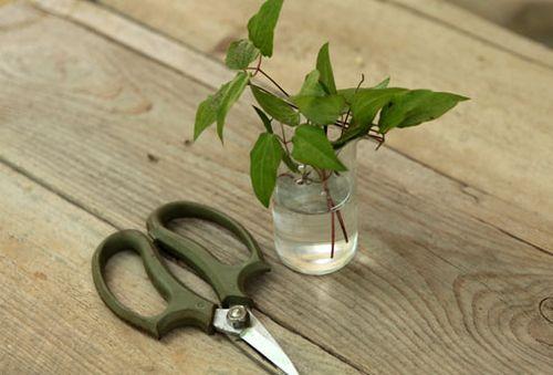 Княжики – посадка и уход в открытом грунте, правила выращивания